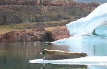 caiac fauna gel groenlàndia gel